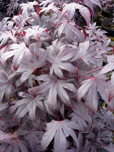 Acer palmatum 'Bloodgood' / Japanischer Blut-Ahorn / Fächerahorn