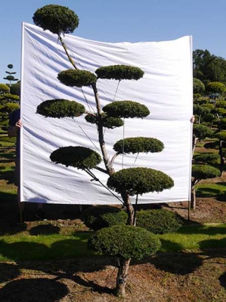 Taxus baccata H: 250 cm B: 140 cm / Garten-Bonsai (0113)