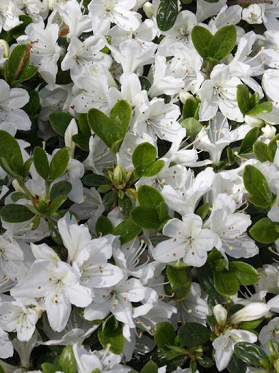 rhododendron obtusum 39 kermesina alba 39 japanische azalee 39 kermesina alba 39 g nstig kaufen. Black Bedroom Furniture Sets. Home Design Ideas