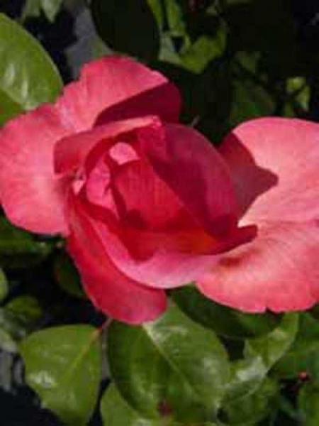Rosa 'Aachener Dom ®' / Edelrose 'Aachener Dom'