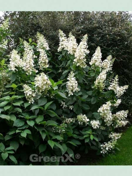 Hydrangea paniculata 'Kyushu' / Rispen-Hortensie 'Kyushu'