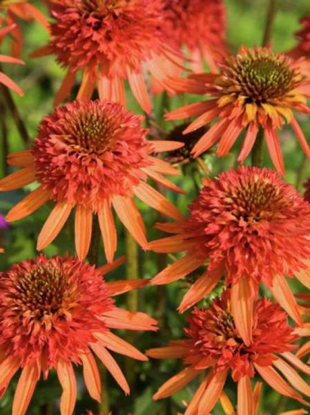 Echinacea purpurea 'Irresistible' / Scheinsonnenhut