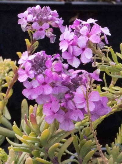 Aethionema armenum 'Warley Ruber' / Steintäschel