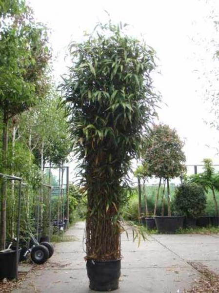 pseudosasa japonica pfeilbambus 300 350 cm im 90 liter container g nstig kaufen baumschule. Black Bedroom Furniture Sets. Home Design Ideas