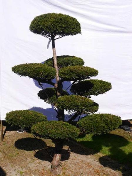 Taxus media 'Hillii' H: 200 cm B: 140 cm / Garten-Bonsai (0109)