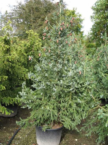 Picea likiangensis var. rubescens / Chinesische Likian-Fichte