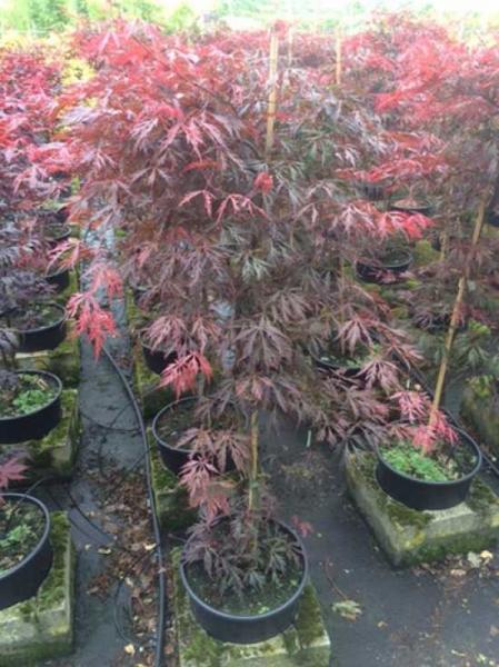 Acer palmatum 'Crimson Princess' / Fächerahorn 'Crimson Princess' / Schlitz-Ahorn