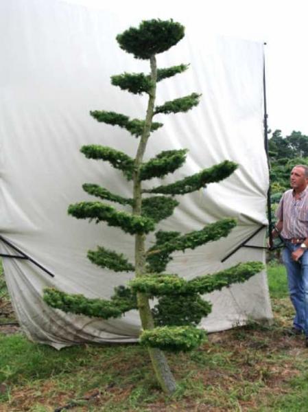 Larix decidua H: 280 cm B: 160 cm / Garten-Bonsai (801116)