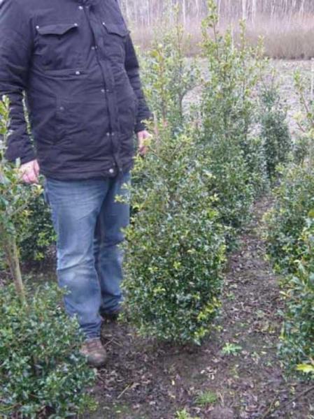 Ilex aquifolium 'Alaska' / Stechpalme 100-125 cm  mit Ballierung