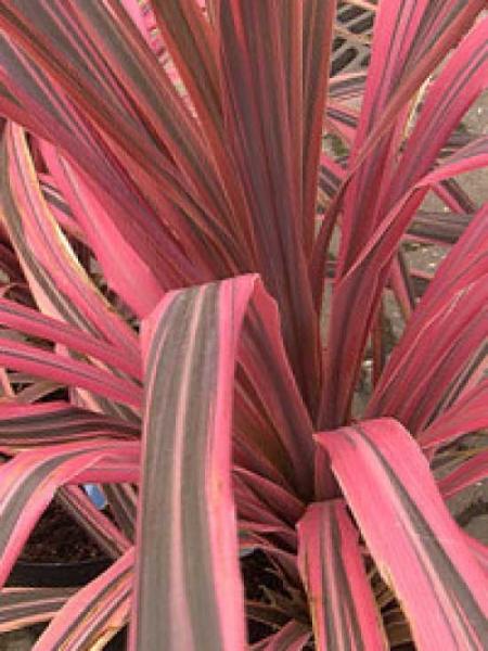 Cordyline australis 'Red Edge' / Keulenlilie 'Red Edge'