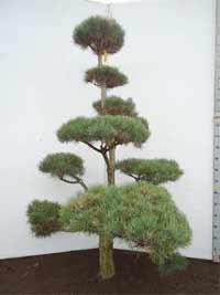 Gartenbonsai 1501-2000 €