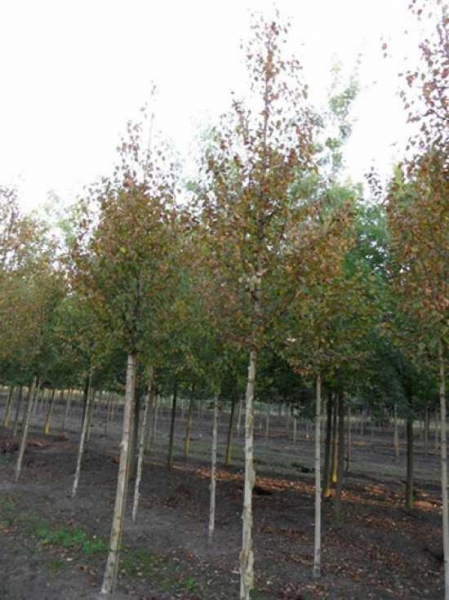Betula Ermanii Holland Gold Birke Holland Ermans Birke