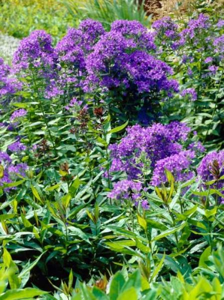 Campanula lactiflora 'Prichard's Variety' / Dolden-Glockenblume