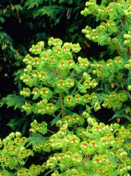 Euphorbia martinii / Busch-Wolfsmilch