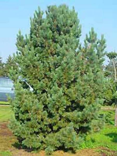 Pinus cembra 'Glauca' / Blaue Zirbel-Kiefer