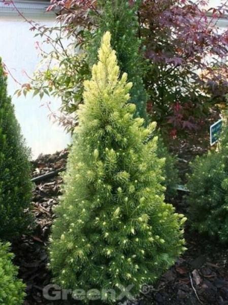 Picea glauca 'Daisy's White' / Zwerg-Zuckerhut-Fichte