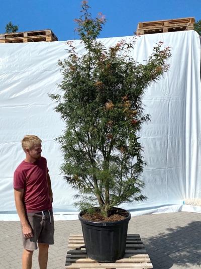 Acer palmatum 'Scolopendrifolium' / Japanischer Fächerahorn 250-300 cm (1221)