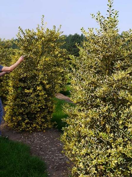Ilex Aquifolium Golden Van Tol Gelbbunte Stechpalme Golden Van