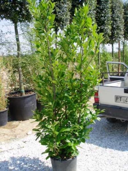 Prunus laurocerasus 'Rotundifolia' / Kirschlorbeer 'Rotundifolia' 175-200 cm im 20-Liter Container