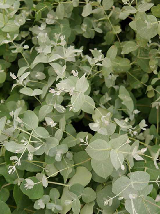 Eukalyptus gunii ca Strauch 20-25cm frischer Eukalyptus Eukalyptus Pflanze,