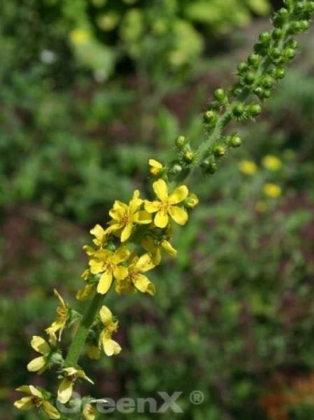 Agrimonia eupatoria / Kleiner Odermennig