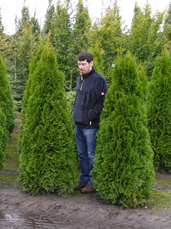 thuja occidentalis 39 smaragd 39 lebensbaum 39 smaragd 39 180 200 cm solit r mit ballierung g nstig kaufen. Black Bedroom Furniture Sets. Home Design Ideas