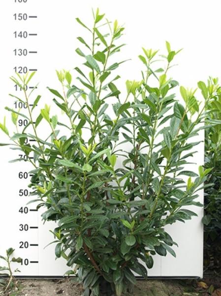 Sehr Prunus laurocerasus 'Novita' / Kirschlorbeer 'Novita' 125-150 cm IR77