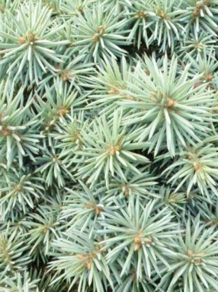 Picea pungens 'Pali' / Zwerg-Blau-Fichte 'Pali'