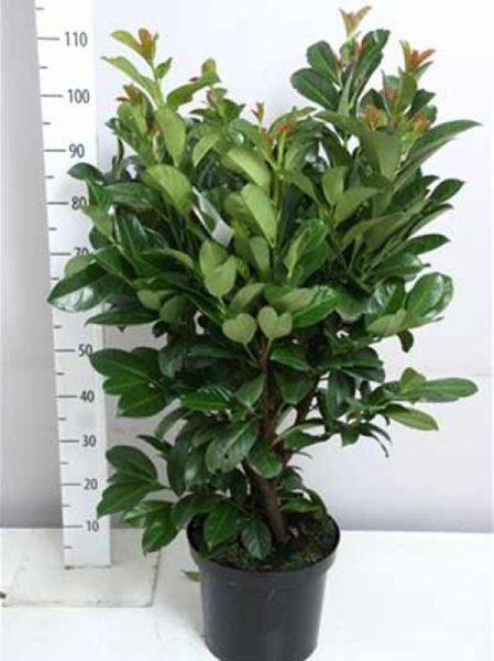 Prunus laurocerasus 'Etna' / Kirschlorbeer 'Etna' 60-80 cm im 7-Liter Container