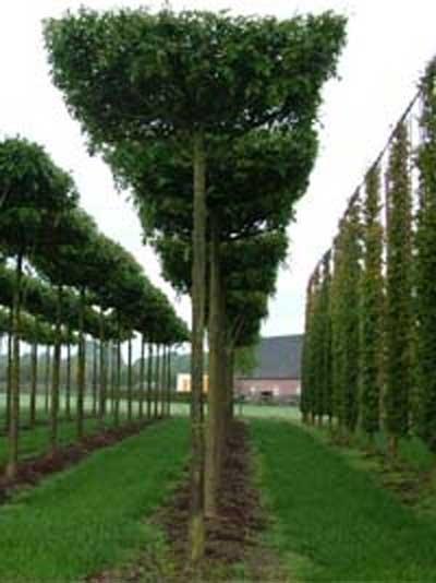 Quercus palustris 'Dachform' 240x240 cm (Stamm 330 cm)
