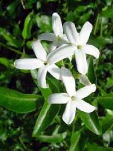 jasmin pflanze pflege with jasmin pflanze pflege jasmin ein name der nur zur angabe von etwa. Black Bedroom Furniture Sets. Home Design Ideas