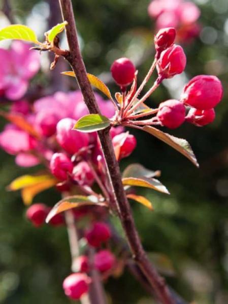 Malus 'Scarlet' / Zierapfel 'Scarlet' Hochstamm 20-25 StU m.Db.