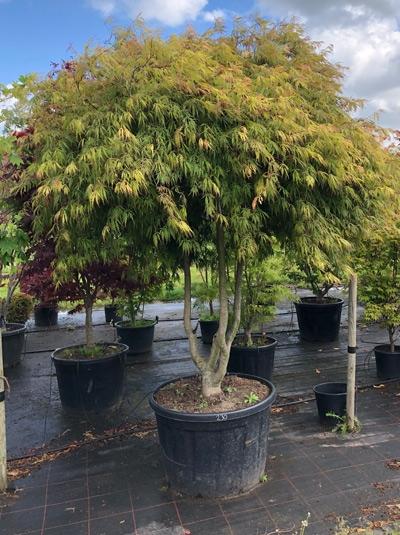 Acer palmatum 'Dissectum Flavescens' / Japanischer Schlitzahorn / Fächerahorn 250-275 cm (1109)
