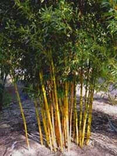 Phyllostachys aureosulcata 'Aureocaulis' / Goldener Peking Bambus 350-400 cm im 100-Liter Container