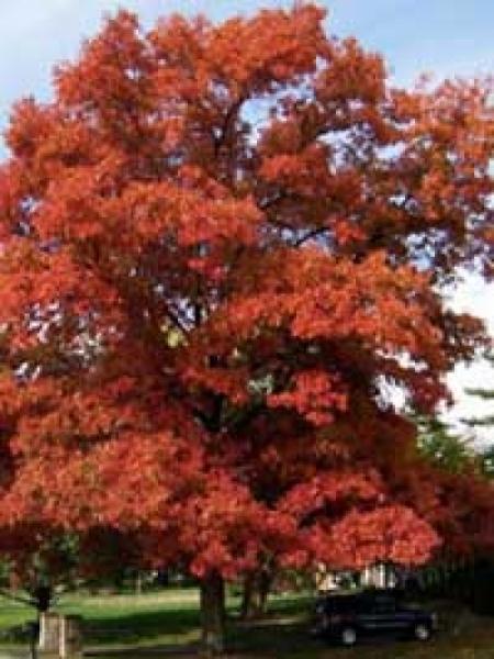 Quercus coccinea 'Splendens' / Scharlach-Eiche 'Splendens'