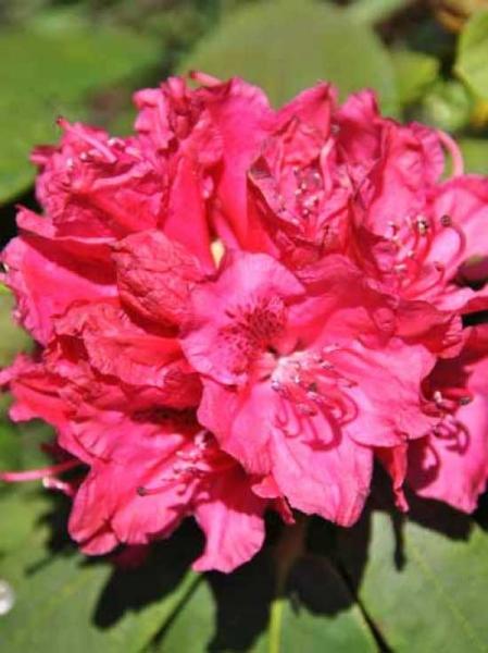 Rhododendron Hybride 'INKARHO Tony' / Rhododendron 'INKARHO Tony'
