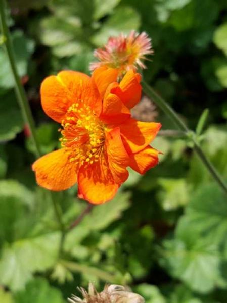 Geum chiloense 'Dolly North' / Garten-Nelkenwurz 'Dolly North'
