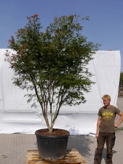 Acer palmatum 'Scolopendrifolium' / Japanischer Fächerahorn 250-300 cm (1128)