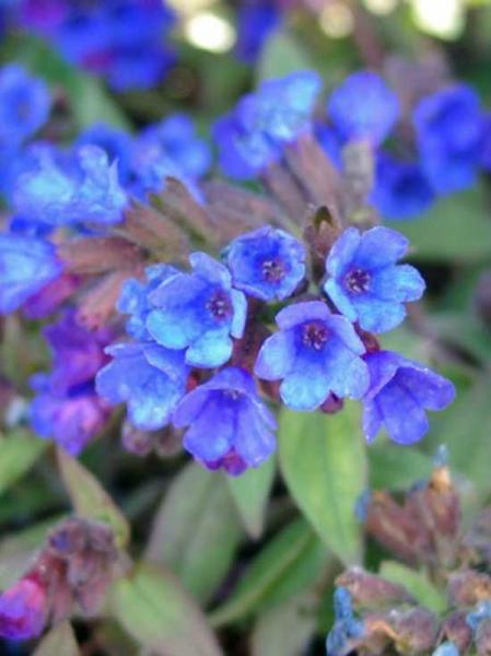 Pulmonaria dacica 'Blaues Meer' / Schmalblättriges Garten-Lungenkraut