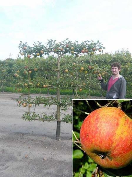 Malus domestica 'Roter Boskoop' / Apfel Roter Boskoop 'Boden-Spalier' H:160 B:160 T:20 (Stamm 50 cm)