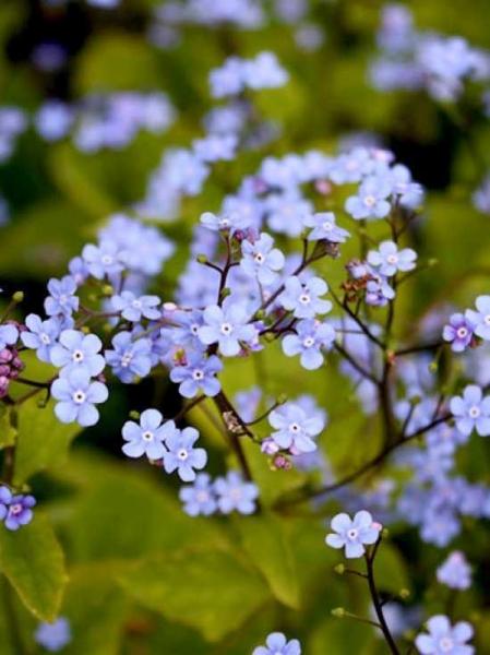 Brunnera macrophylla / Großblättriges Kaukasus-Vergissmeinnicht