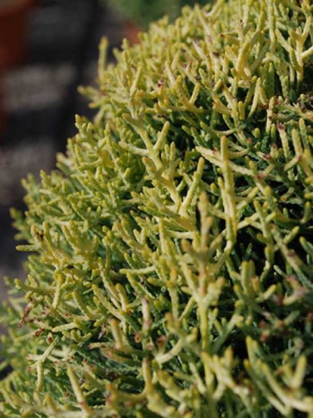Cupressus arizonica 'Fastigiata Aurea' / Goldgelbe Säulen-Arizona-Zypresse