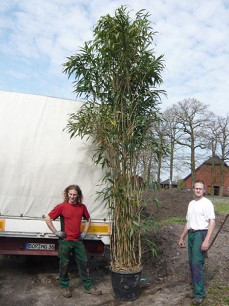 Pseudosasa japonica / Pfeilbambus 350-400 cm im 90-Liter Container