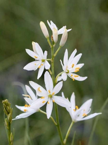 Anthericum ramosum / Graslilie