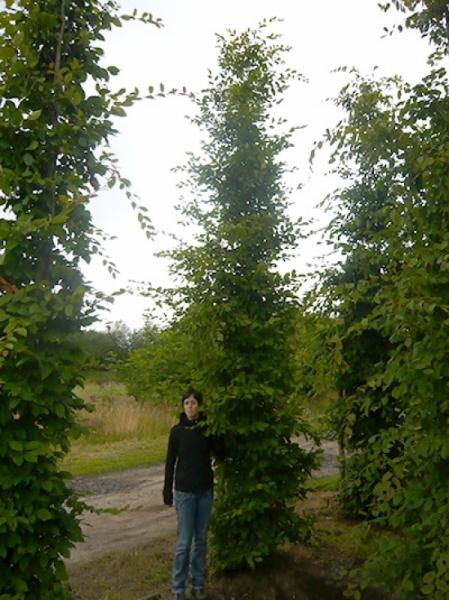 Carpinus betulus / Hainbuche 500-600 cm Solitär mit Drahtballierung