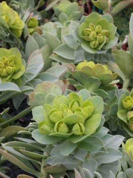 Euphorbia myrsinites / Warzenwolfsmilch