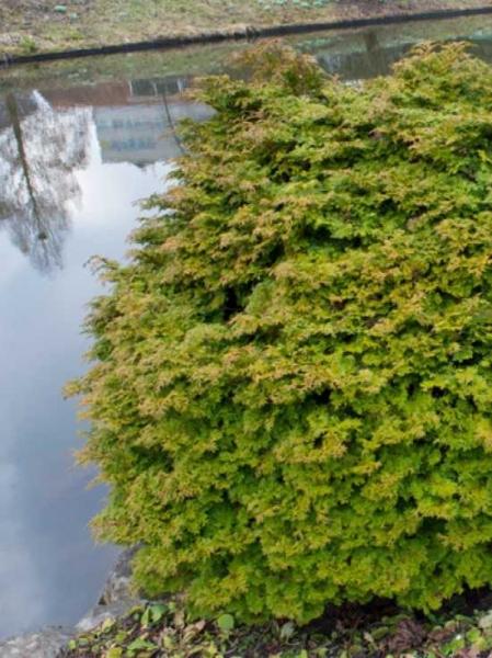 Chamaecyparis obtusa 'Pygmaea' / Hinoki-Scheinzypresse 'Pygmaea'