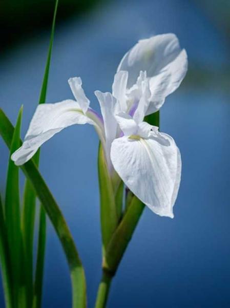 Iris laevigata 'Snowdrift' / Weiße Sumpf-Schwertlilie