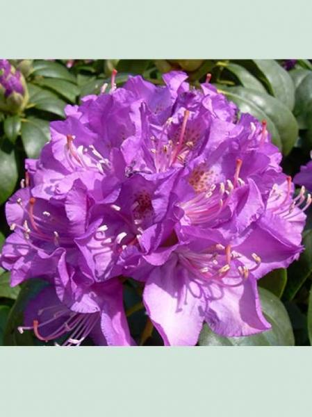 Rhododendron Hybride 'Purpureum Elegans' / Rhododendron 'Purpureum Elegans'