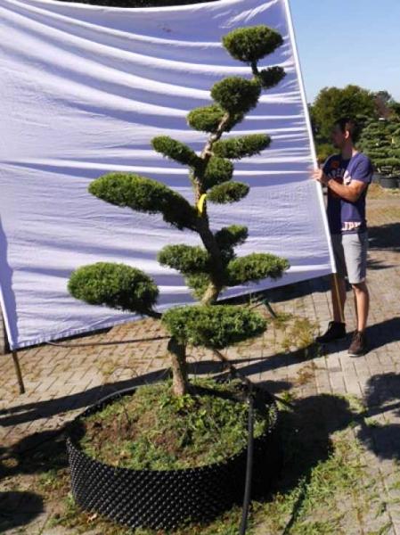 Juniperus media 'Hetzii' H: 200 cm B: 120 cm / Garten-Bonsai (301586)